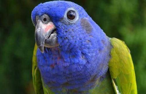 蓝头金刚鹦鹉